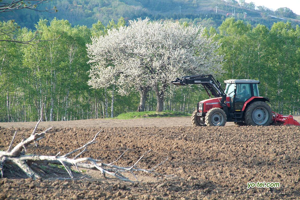 満開のサクランボの木とトラクター