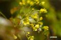 アカイタヤの花