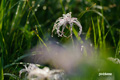 チングルマの集合花