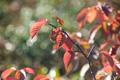 紅葉し始めたチシマザクラ