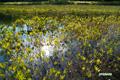 ミツガシワの神仙沼