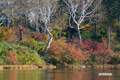 紅葉の進む沼畔とカモ