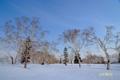 残雪とダケカンバ