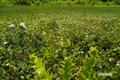 ホロムイイチゴの群生
