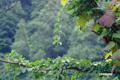 半月湖畔の枯れ木に絡みつく「サルナシ(コクワ)」