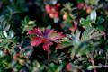 チシマフウロ(草紅葉)
