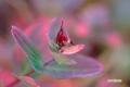 ハイオトギリの紅葉
