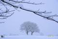 雪降る中のサクランボの木