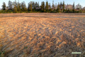 早朝の湿原~4