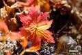 草紅葉~1(チシマフウロ)