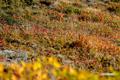 草紅葉~2(チシマフウロ)