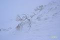 雪と一体化した「ダケカンバ」他