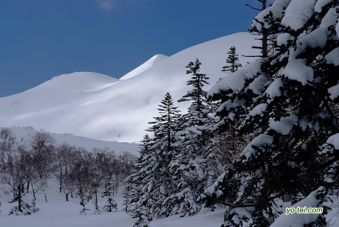 シャクナゲ岳・アカエゾマツ