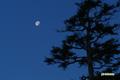 アカエゾマツの向こうに月