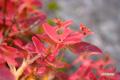 紅葉~ハイオトギリ