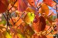 紅葉~オオカメノキ