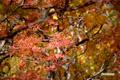 紅葉~ウラジロナナカマド