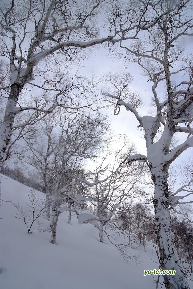 ニトヌプリ西斜面のダケカンバ林