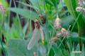 カオジロトンボの羽化~4
