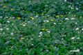 カラマツソウの群生