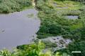 シャクナゲ沼