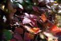 ゴゼンタチバナ~紅葉