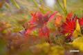草紅葉~チシマフウロ