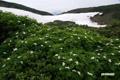ウラジロナナカマドと残雪の星ヶ池付近
