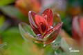 ハイオトギリ(春紅葉)