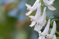 エゾエンゴサク(白花)