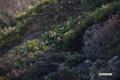 キバナシャクナゲの蕾