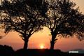サクランボの木と朝陽