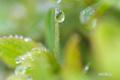ハイオトギリの若葉と滴