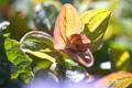 ハイオトギリの若葉