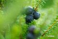 ガンコウランの果実