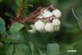 シラタマノキの果実