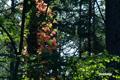 夏色と同居のツタウルシの紅葉