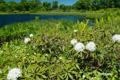 イソツツジの咲く鏡沼畔
