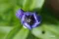 エゾオヤマリンドウ