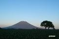 サクランボの木と羊蹄山~日没前