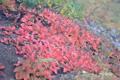 イワブクロの紅葉