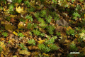 落ち葉の中のクルマバソウ