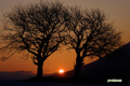 サクランボの木~日の出