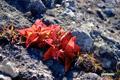 草紅葉~3(イワブクロ)