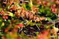 草紅葉~6(クロウスゴ)