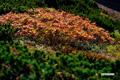 紅葉が進む「ウラジロナナカマド」
