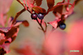 草紅葉~7(オオバスノキ)
