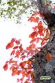 ツタウルシ(紅葉)