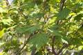 minekaede20050624dscf5251_3m