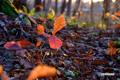 ナラの幼木の紅葉
